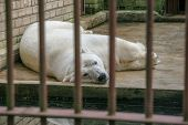 The Polar Bear Lies In The Aviary Behind Bars On The Concrete Floor. Sad Animal In Captivity. poster