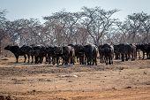 Big Herd Of African Buffalos On An Open Plain. poster