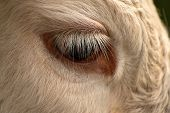 Cows In The Pasture. White Cattle Living Outdoors In Nature. Meat Breed. Close-up Of Head With Eye. poster