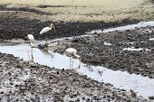 3 Milky Storks, An Endangered Species,  Hunting For Food In The Stream Of A Mud Flat In Sungei Buloh poster