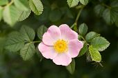 foto of windflowers  - windflower close up of pink flower head in spring - JPG