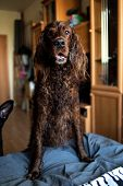 Wet Irish Setter Dog On Couch In Living Room poster