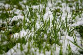 Snow Covered Green Grass. Green Grass Under The Snow. White Snow And Green Grass Background. Grass O poster