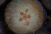 Old Wooden Oak Tree Cut Surface. Detailed Warm Dark Brown And Orange Tones Of A Felled Tree Trunk Or poster