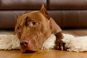 Purebred American Pit Bull Terrier Dog Lying On The Floor On A Fur Rug In The Living Room poster