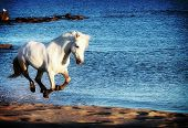 stock photo of wild horse running  - White horse running along the sea shore - JPG