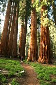 stock photo of redwood forest  - Male Hiker on Trail in Sequoia National Park - JPG