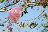 picture of lapacho  - Pink Trumpet Or Tatebuia Blossom In Blue Sky - JPG