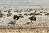 stock photo of steppes  - Ostriches running in the steppe of Namibia - JPG