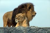 stock photo of african lion  - Lion and lioness - JPG