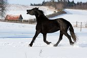 foto of shire horse  - Horse - JPG
