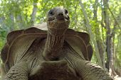 stock photo of enormous  - An Aldabra giant tortoise (Aldabrachelys gigantea) from the bottom in a forest in Zanzibar Island Tanzania