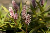 stock photo of meadowsweet  - pink plant bistort  - JPG