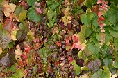 Pretty Delicate Autumn Colours In Ivy