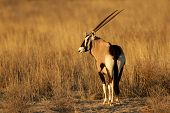 Gemsbok antelope (Oryx gazella) in early morning light, Kalahari desert, South Africa