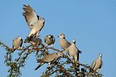 Cape turtle doves (Streptopelia capicola) perched on a branch, Kalahari, South Africa