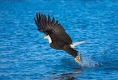 image of fish-eagle  - Bald Eagle with fish in talons - JPG