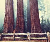 stock photo of sequoia-trees  - Sequoia National Park in USA - JPG