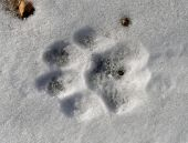Footprint Of Tiger