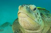 Green Sea Turtle face