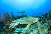 Two Green Sea Turtles