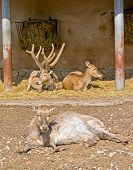 stock photo of deer family  - Family of rare type of deer of David is in the open - JPG