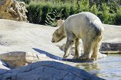image of blubber  - A wet white polar bear walking coming out of the water to rest - JPG