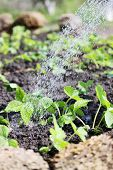 picture of water cabbage  - gardener waters from watering bed of strawberries