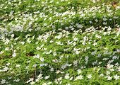 stock photo of windflowers  - Bed of white windflowers at spring time - JPG