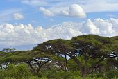 stock photo of kilimanjaro  - Snow on top of Mount Kilimanjaro in Amboseli - JPG