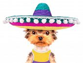 picture of mexican-dog  - cute puppy dog wearing a mexican hat on a white background - JPG