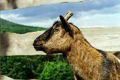 foto of goat horns  - Close up of horned farm goat summer day - JPG