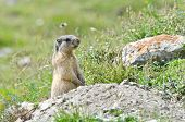 image of marmot  - Wild marmot stands guard in the mountains