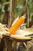 stock photo of corn stalk  - Corn on the stalk in the field Thailand - JPG