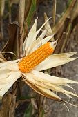 picture of corn stalk  - Corn on the stalk in the field Thailand - JPG