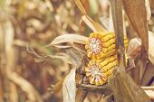 picture of maize  - Ripe maize on the cob in cultivated agricultural corn field ready for harvest picking - JPG