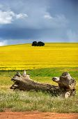 picture of pampas grass  - A crop of canola growing over a hill with a foreground tree stump and meadow grass - JPG