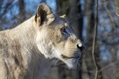 pic of african lion  - White South African lion  - JPG