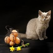 stock photo of portrait british shorthair cat  - Easter card photo - JPG