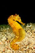picture of seahorse  - Tigertail Seahorse - JPG
