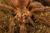 image of exoskeleton  - Caribbean Golden Grey Tarantula  - JPG