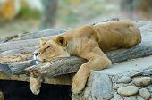stock photo of terrestrial animal  - Luxury photo of white lion the king of animals - JPG