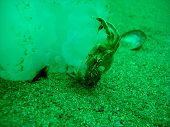 foto of jellyfish  - Crab eating jellyfish under the water into black sea - JPG