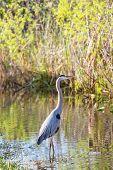 picture of wetland  - great blue heron posing in florida wetland - JPG