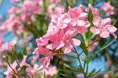 pic of oleander  - tree oleander flowers pink color - JPG