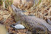 stock photo of swamps  - Crocodile with turtle on reed or cane on swamp - JPG