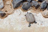 image of tortoise  - Turtle or tortoise on the stone shore - JPG