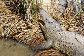 pic of swamps  - Crocodile on reed or cane in swamp - JPG