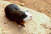 stock photo of guinea  - Guinea pig or hamster on the stone - JPG