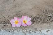 picture of frangipani  - pink Frangipani Frangipanni or plumeria tropical flowers over soil background - JPG